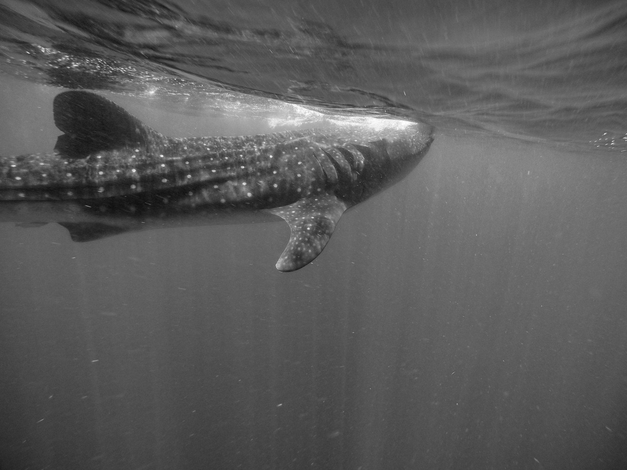whale sharks mexico